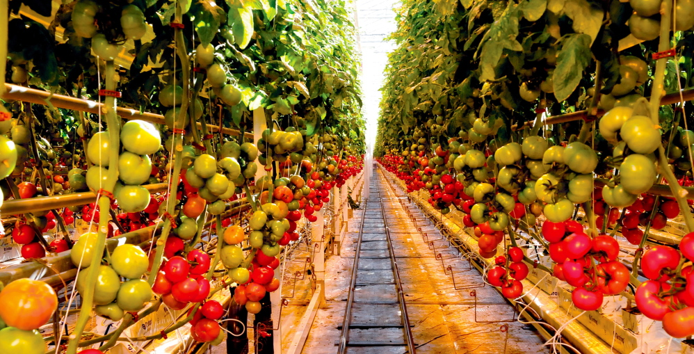 TONS OF TOMATOES: Tomatoes ripen inside one of the immense greenhouses at Backyard Farms in Madison.