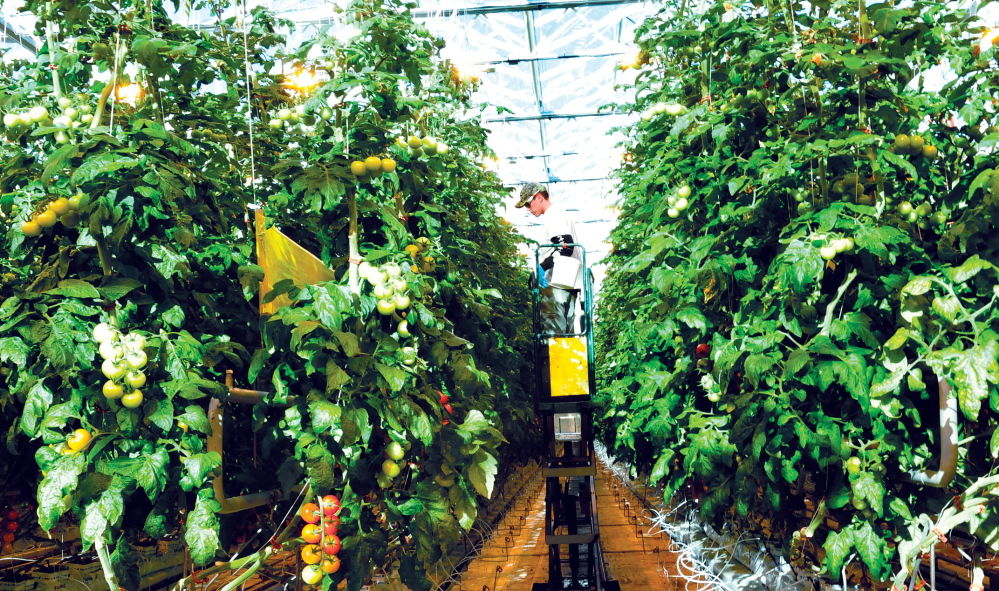 TALL ORDER: Backyard Farms worker Chris Richards works from a lift to reach tomato plants inside one of the greenhouse at the Madison facility on Wednesday.
