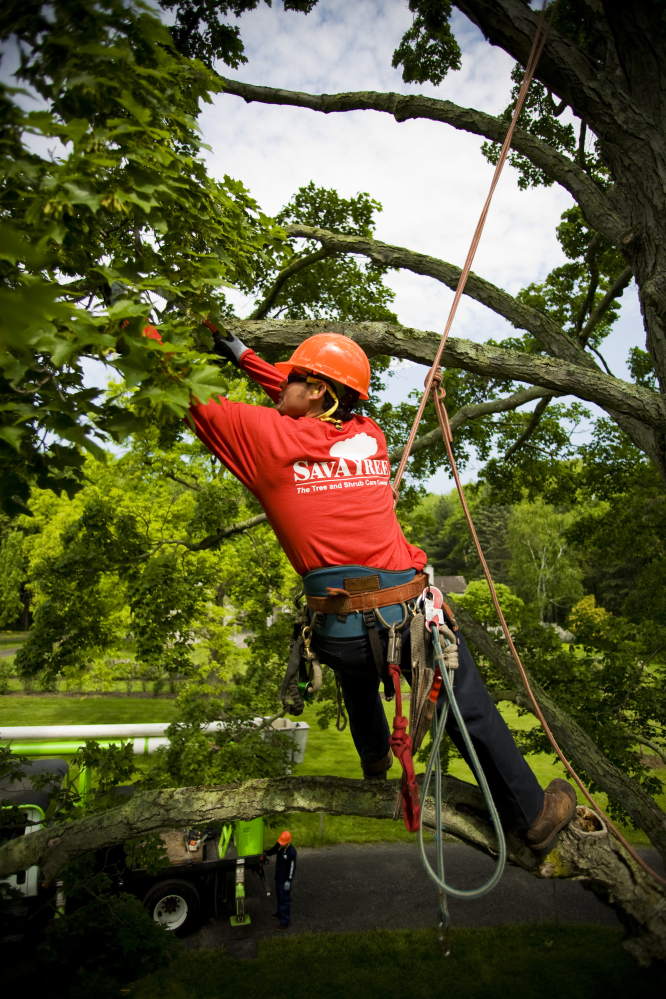 Pruning can improve a tree's overall health and structure, arborists say.