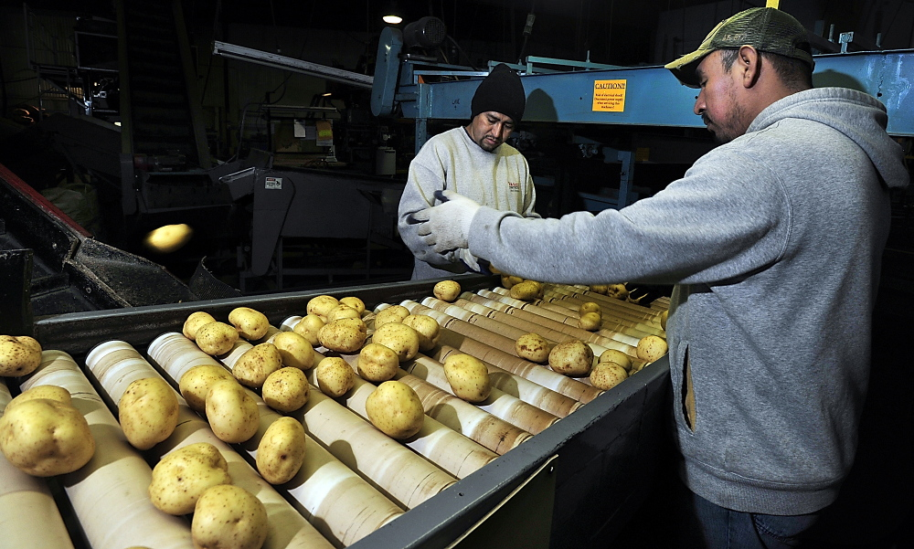 Manuel Hernandez, left, and Victor Reyes inspect and toss the potatoes off the production line that don't meet high standards at Green Thumb Farms as they head to the bagging machine.