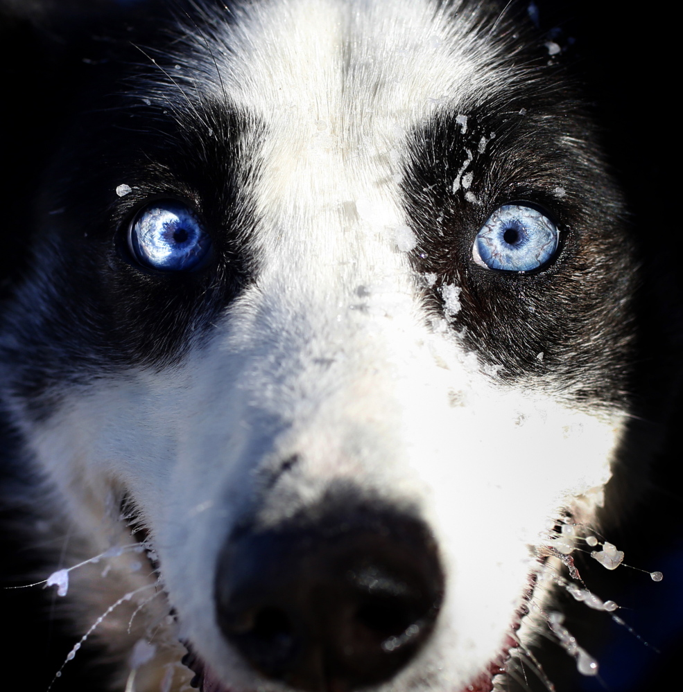 Sally, an Alaskan husky, takes a break from competing in the Down East Mushers Bowl Races at Five Field's Apple Orchard in South Bridgton on Sunday.
