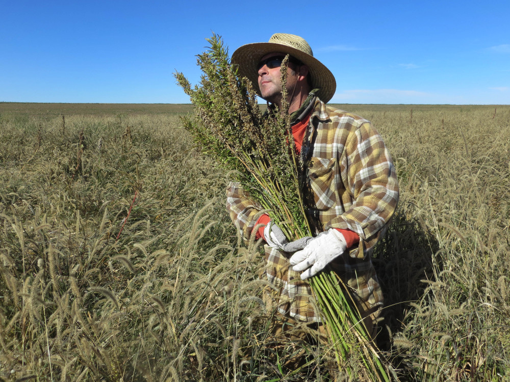 Hemp chef Derek Cross helps harvest hemp during the first known harvest of the plant in more than 60 years, in Springfield, Colo., in October. The federal farm bill agreement reverses decades of prohibition for hemp cultivation.