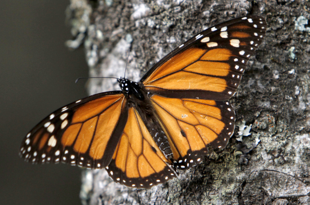 A Monarch butterfly perches on a tree at the Sierra Chincua Sanctuary in the mountains of Mexico's Michoacan state. A report blames the dramatic decline of the butterfly's numbers on the loss of habitat in Mexico's mountaintop forests and the massive displacement of its food source, the milkweed plant, in the U.S.
