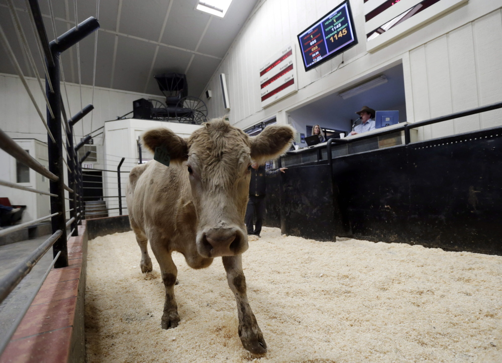 A calf is presented at an auction this month at the 101 Livestock Market in Aromas, Calif. California's worsening drought is forcing many ranchers to sell their livestock because their pastures are too dry to feed them and it's getting too expensive to buy hay and other supplemental feed.