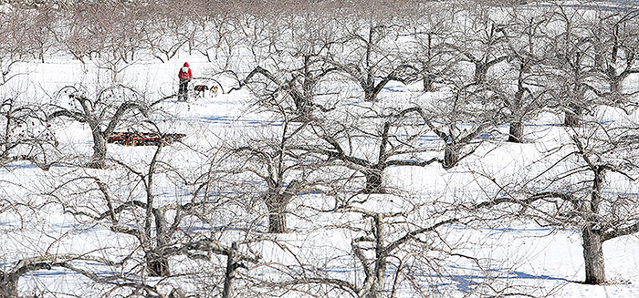 "Josh Quist of Caribou is seen through apple trees as he competes in the four-dog speed class on Sunday at Five Fields Farm in Bridgton. The course, one of a handful in Maine, is technically challenging with ""a lot of twists and turns,"" said race marshal George Miller of Hampden."