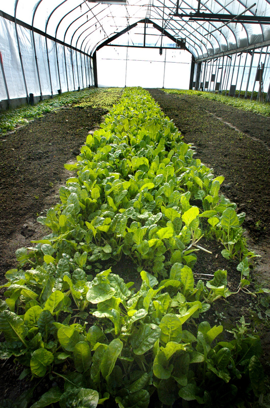 Swiss Chard grows along side other winter vegetables in a heated greenhouse at Laughing Stock Farm in Freeport in 2004. Congress gave final approval Tuesday to a sweeping overhaul of federal farm and nutrition policies, ending nearly four years of negotiations between Democrats and Republicans.