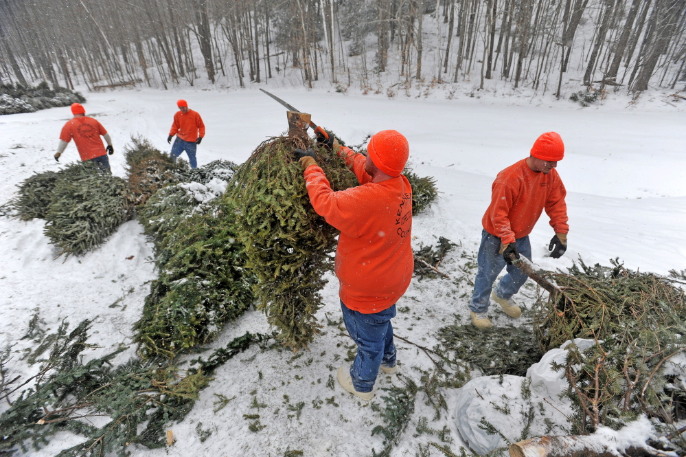Staff photo by Michael G. Seamans TRAILBLAZER: A work crew from the Kennebec County jail set up the maze of old Christmas trees at Quarry Road Recreational Area on Wednesday in Waterville. The work release crew helped the Waterville Parks and Recreation Department helped prepare Quarry Road for the annual Winter Carnival schedule for this weekend.