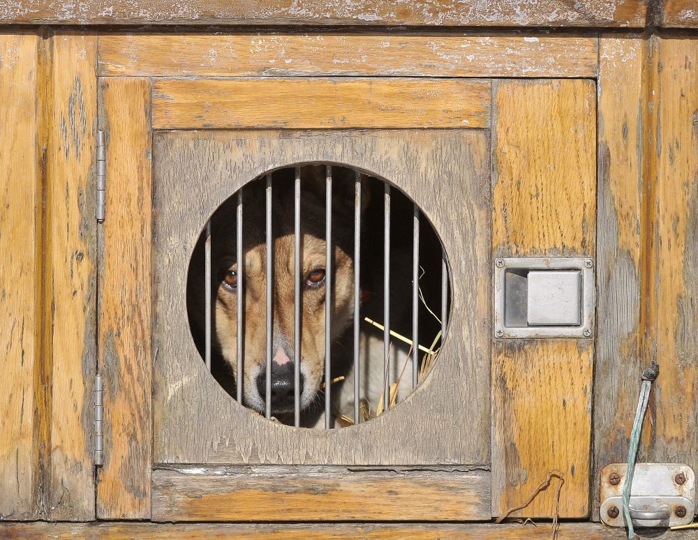 Long Day: A dog rests in his kennel in the back of his handler's truck as he waits to pull a dog sled at Quarry Road Recreational Area in Waterville on Saturday.