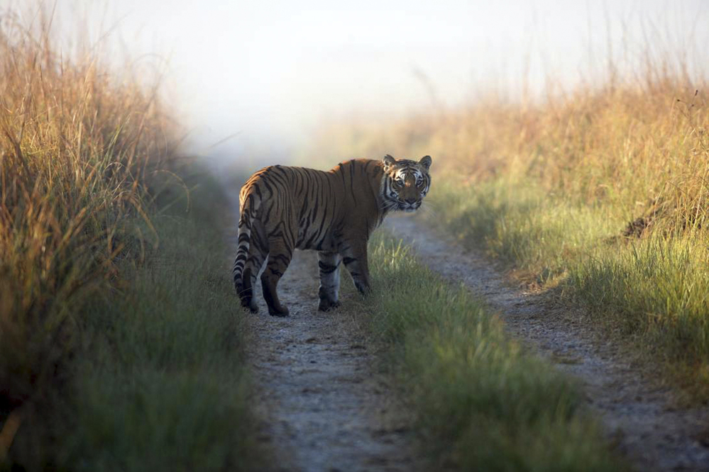This undated photo shows a tiger at the Corbett Tiger Reserve in the northern Indian state of Uttarakhand. India's wild tigers are considered endangered because of rampant poaching and shrinking habitat.