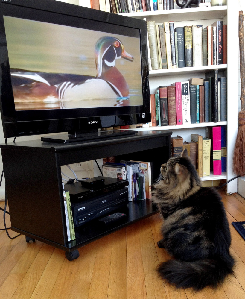 Cat-CHING some TV: Amy Calder's cat Bitsy enjoys watching television, such as this documentary on ducks.