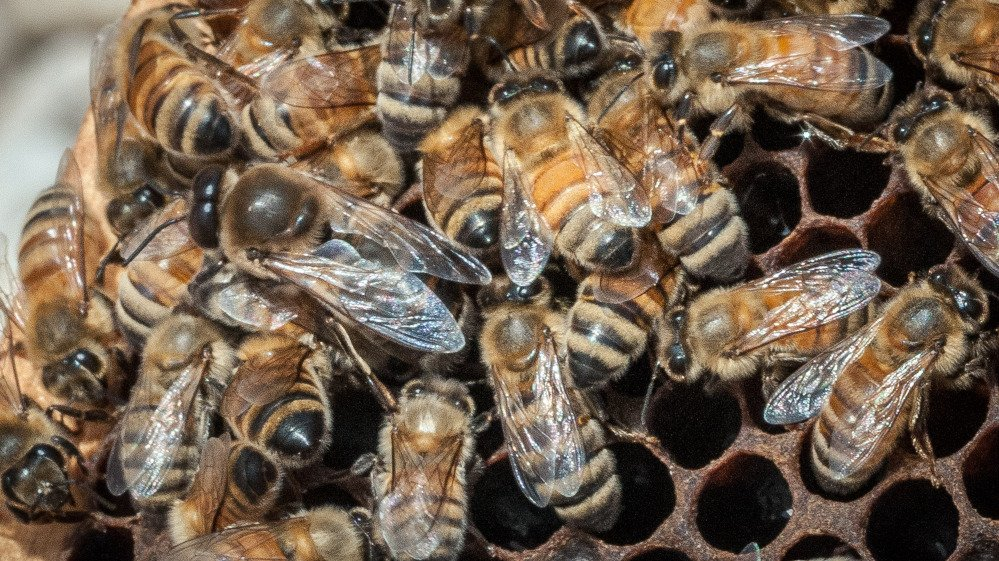 A queen Italian honeybee, the large bee just left of center, is surrounded on an apiary nest in this photo provided by the U.S. Department of Agriculture.