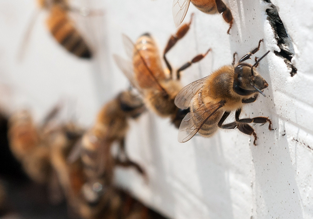 """Honeybees with """"saddlebags"""" of pollen attached to their hind legs return to an apiary in this photo provided by the U.S. Department of Agriculture."""