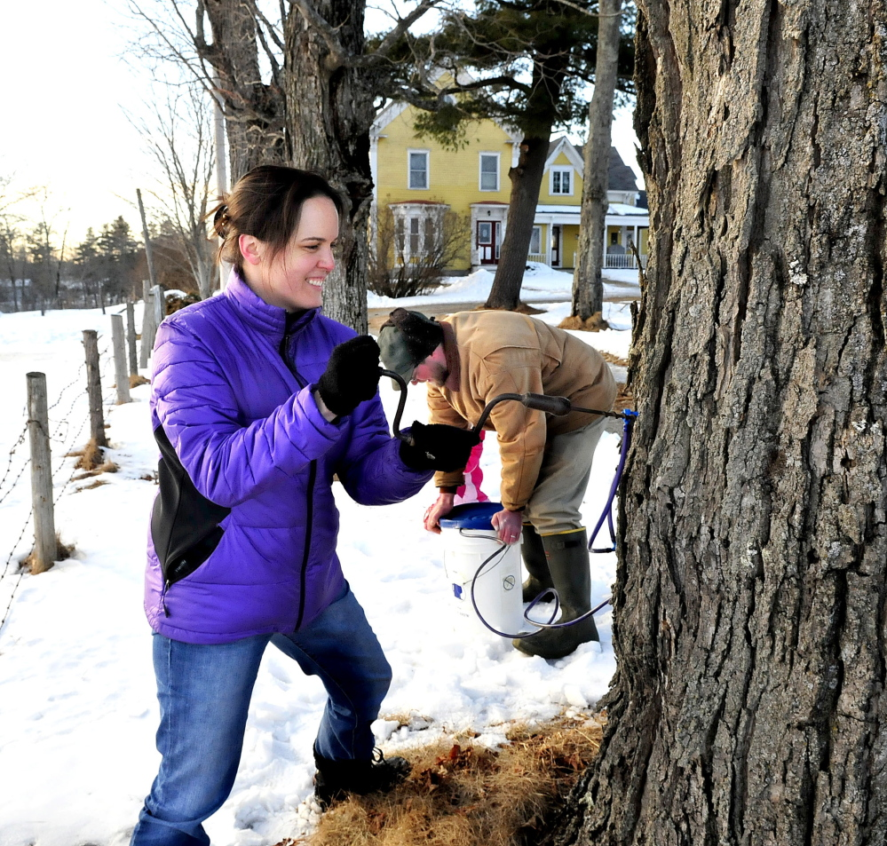 """SPRING DRILL: Sherry Brown drills into a maple tree as her husband Xandy covers a bucket while tapping trees for sap at LongMeadow farm in Benton late Sunday. Xandy said it's still early for sap and only a small amount ran over the weekend. Sherry added, """"We are defying this winter."""""""