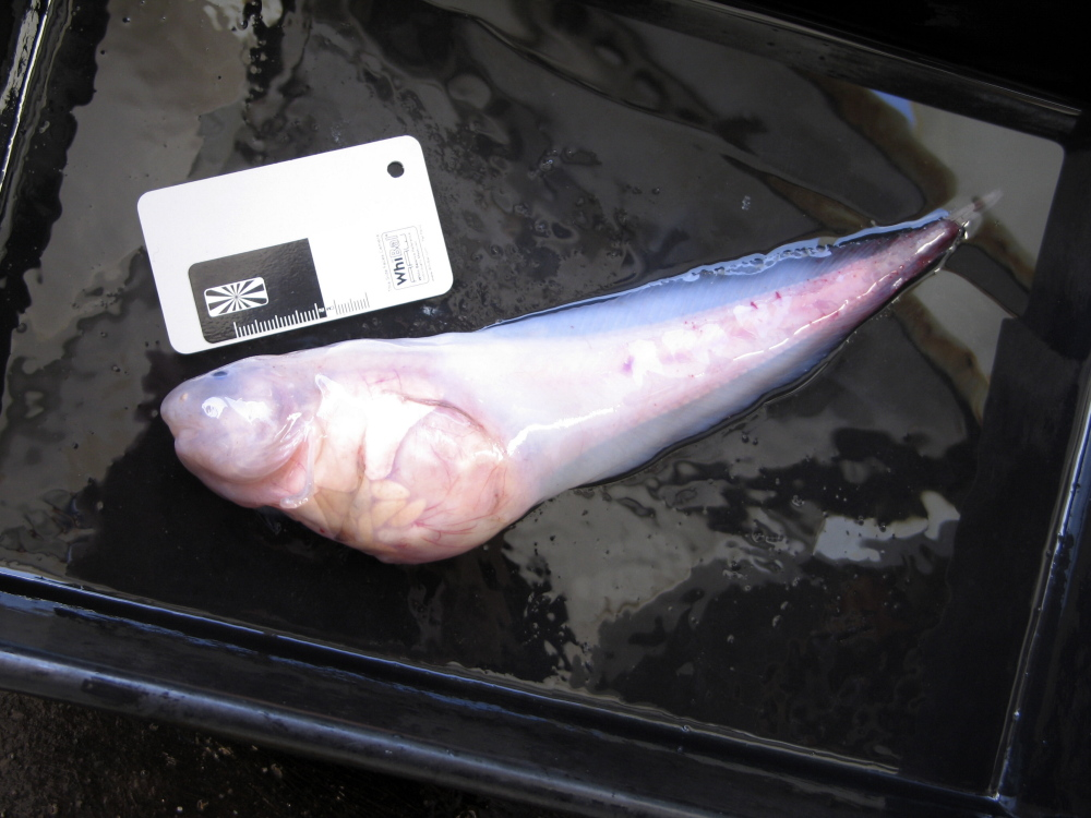 This photo taken in late 2011 and released by University of Aberdeen, shows a hadal snailfish that was caught in a trap at a depth of 7,000 meters in the Kermadec Trench near New Zealand.