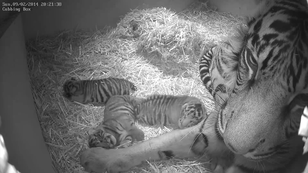Sumatran tigress Melati is shown with her triplet cubs at the Zoological Society of London six days after their Feb. 3 births.