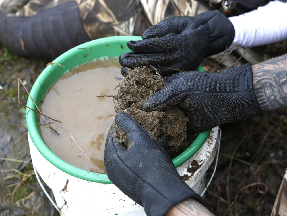 Tim Amavisca separates a large ball of dirt and plant roots dug up from the banks of the Bear River as he prospects for gold near Colfax, Calif.