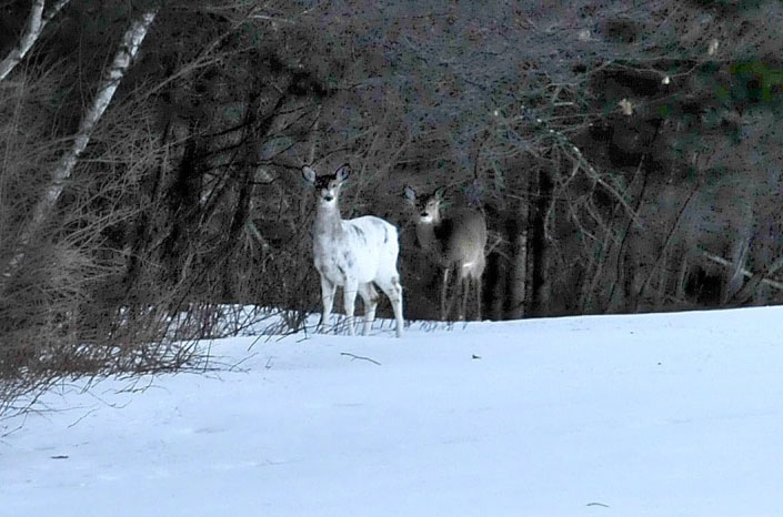 WATCH OUT: Two deer, one a piebald with a genetic variation that produces a nearly all-white coloration, look up from grazing in a field off Route 139 in Unity Township in March. Officials say this year's harsh winter has reduced Maine's deer population and is likely to reduce the number of permits issued this fall.