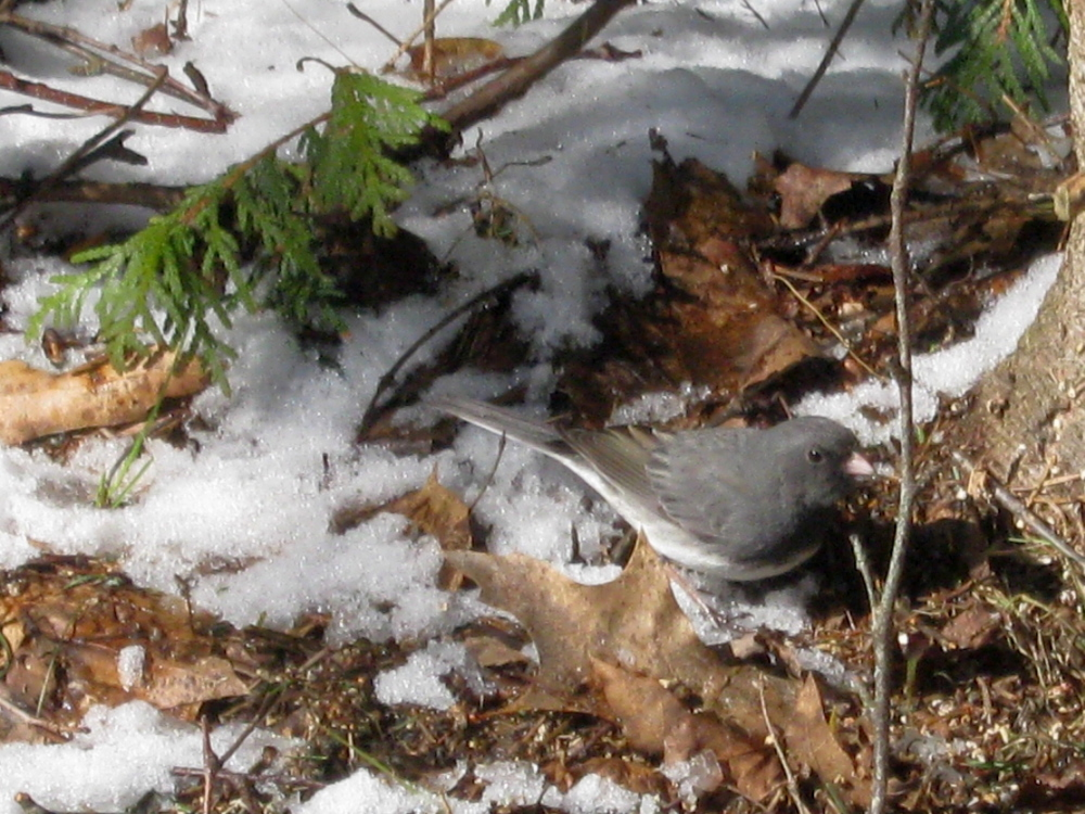 SNOWBIRD: A dark-eyed junco patrols the ground in Troy.