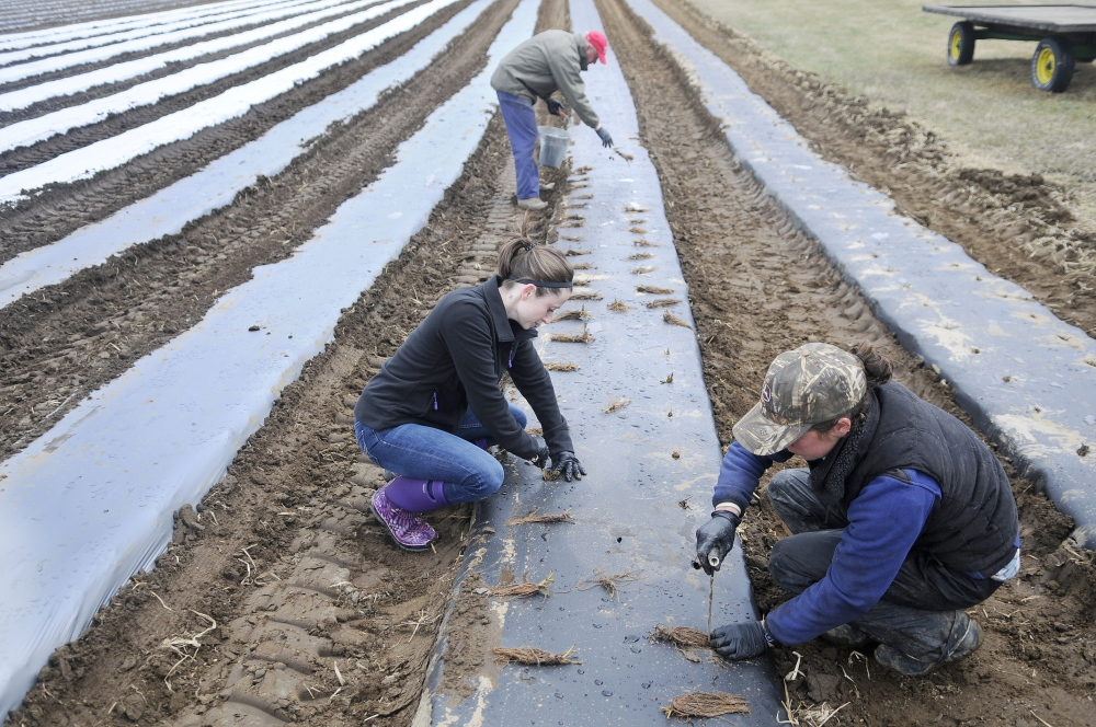 READY FOR SUMMER: Alice Berry, right, Pam Allen, left, and Ford Stevenson, top, plant strawberry bushes Sunday at Stevenson's farm in Wayne. The new plants will bloom all season long, Stevenson said, to supplement the fruit picked in June.
