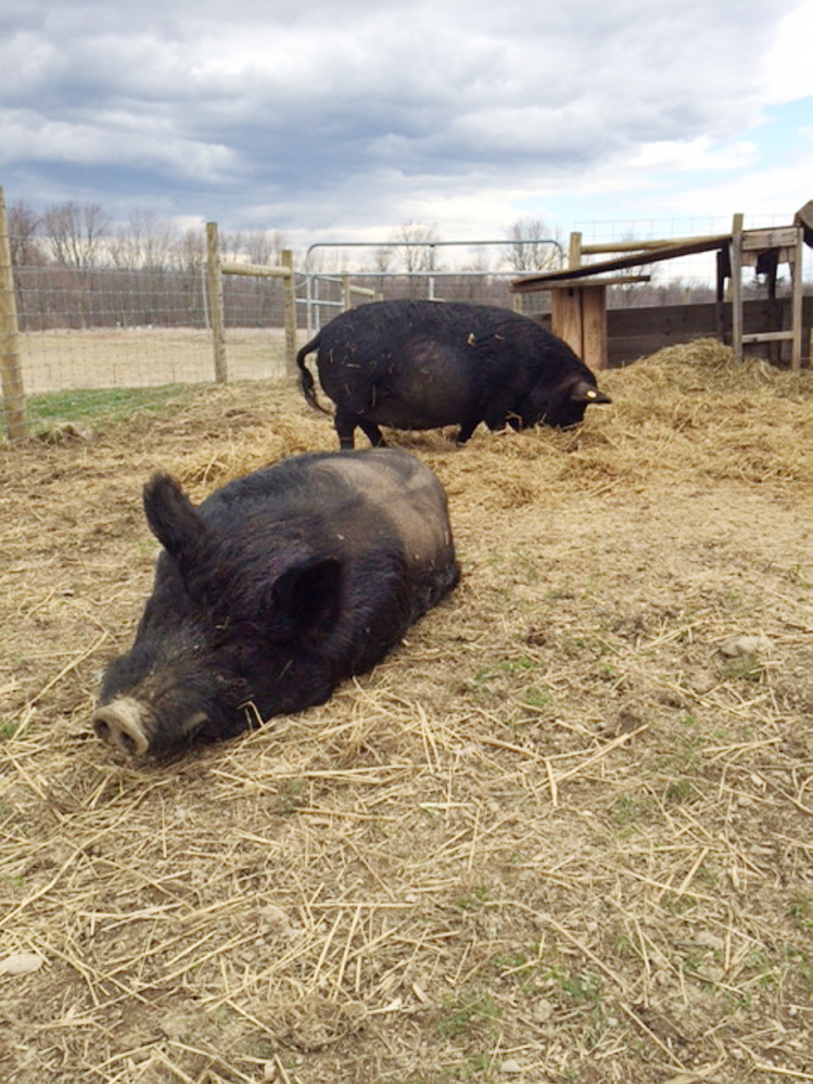 PIGSTY: American guinea hogs Lurch, foreground, and Luna, background, relax and forage at their new home at Unity College on Friday.