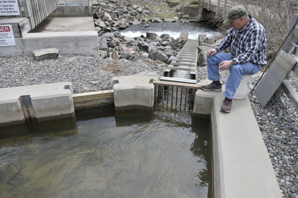 Fish counter: Donald Lettre counts alewives as they climb the small fish ladder from Seven-Mile Stream to Webber Pond in Vassalboro on Friday, May 9, 2014.
