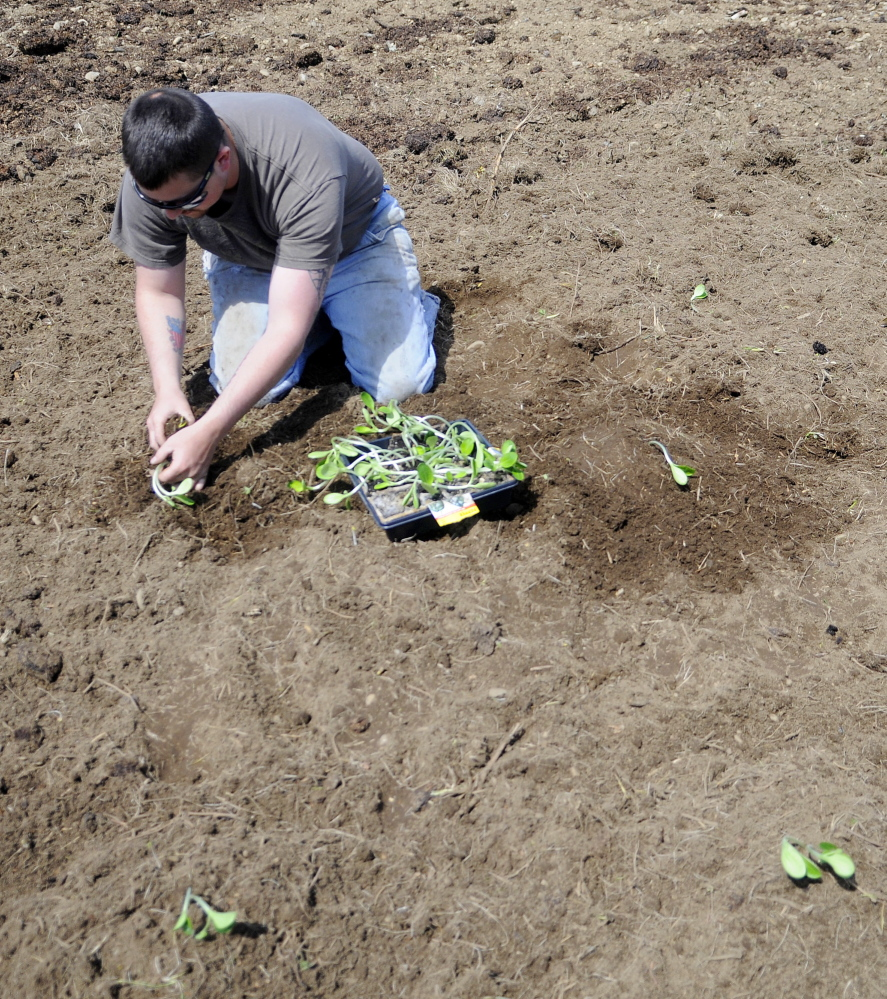 Staff photo by Andy MolloyBrad Bowden transplants zucchini and summer squash Sunday on his family's farmland in North Whitefield.