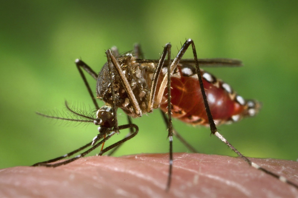 Dangerous Mosquito: Aedes aegypti carries dengue fever and yellow fever.