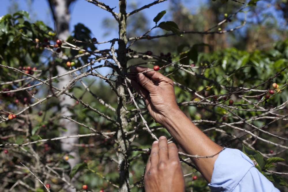 "Small coffee producer Hector Perez shows coffee beans damaged by the coffee rust fungus in San Gaspar Vivar, Guatemala, last year. The fungus is known as ""roya"" in Central America."