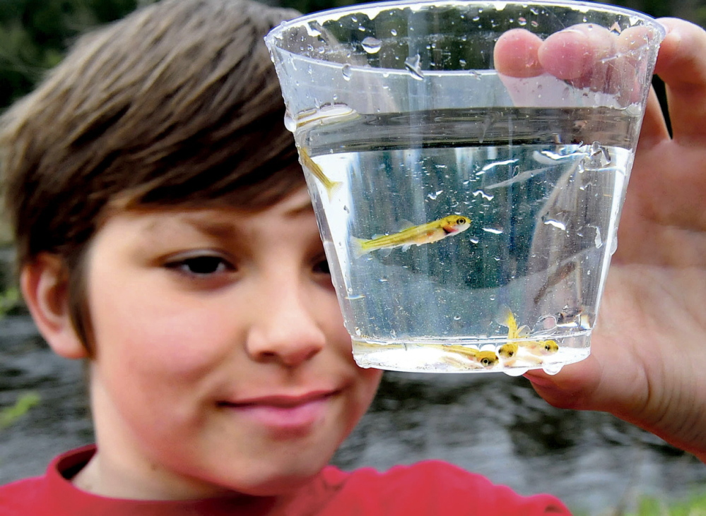 FRY EYE: Cornville Regional Charter School student Aven Hutchins looks over the salmon fry that were released into the Sandy River in Norridgewock on Thursday.