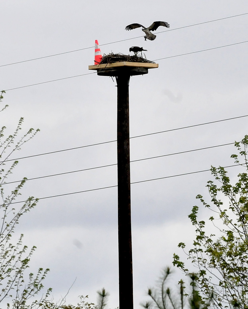 NEW CRIB: An osprey lands on a nest occupied by an osprey incubating her eggs on Tuesday near the site where work on Central Maine Power transmission lines is underway in Skowhegan. Workers relocated the nest, which was originally on a utility tower. The object in the nest is a traffic cone.