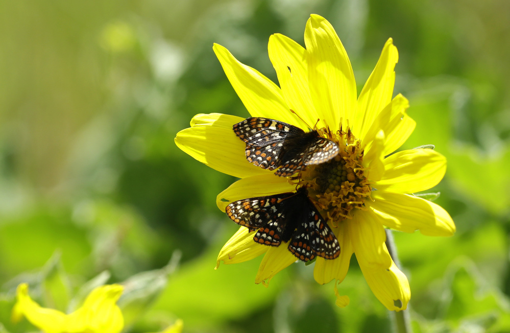 A pair of Taylor's checkerspots rest on a Puget balsamroot flower on a prairie area used for live-fire exercises. It is prime season for the butterflies to mate, and their orange and white checkered wings flutter as they move from one plant to another.