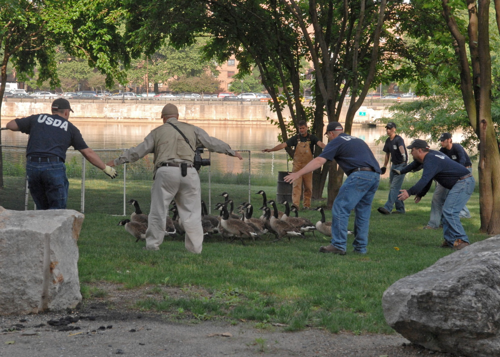 Federal workers round up Canada geese for removal from a public recreational area in this file photo showing a separate geese roundup.