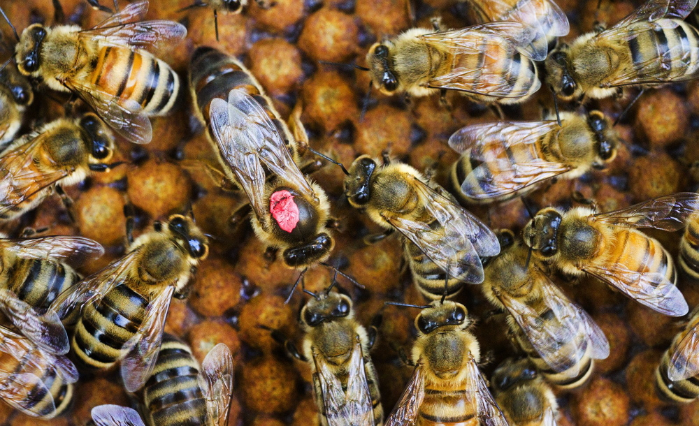 In this file photo, the queen bee is surrounded by the worker bees in one of The Honey Exchange's Portland hives.