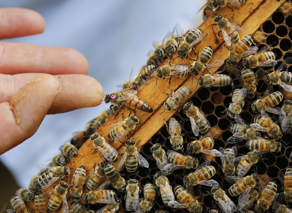 "Erin MacGregor-Forbes, a master beekeeper, touches a queen bee while checking her hives in Portland. Many plants touted as ""bee-friendly"" are pretreated with a class of pesticides shown to harm and kill bees and other pollinating insects, according to a study to be released Wednesday at a press conference in Portland."