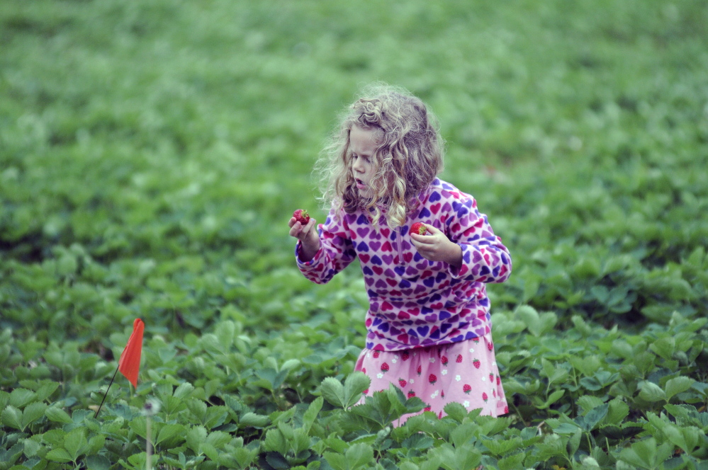 """Ayla Neighbors, 5, of Andover inspects strawberries that she picked Thursday at Stevenson's Strawberries in Wayne. Farmer Ford Stevenson said the fields opened Thursday and """"we're rocking and rolling."""""""