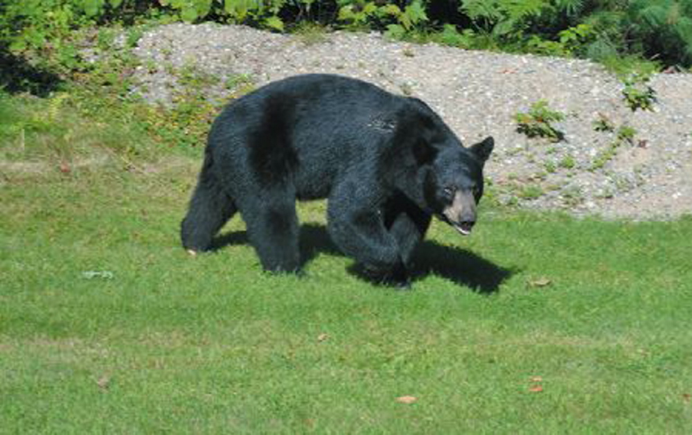 Maine voters will be asked in November whether they want certain restrictions on bear hunting.