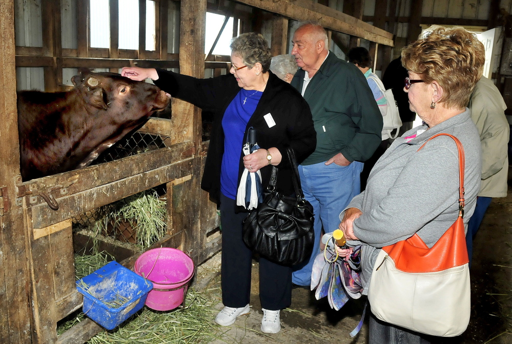 A busload of visitors stopped to learn about dairy farming at the Sandy River Farm in Farmington during a tour of New England sites on Wednesday. At left Elaine Miles pets a young cow as Bob Ruby and Susan Wierman watch.