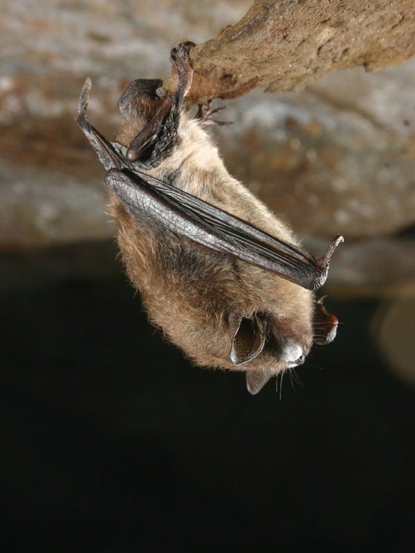 A little brown bat shows fungal growth that is a sign of white nose syndrome, a deadly disease that is wiping out the bat population in Maine.