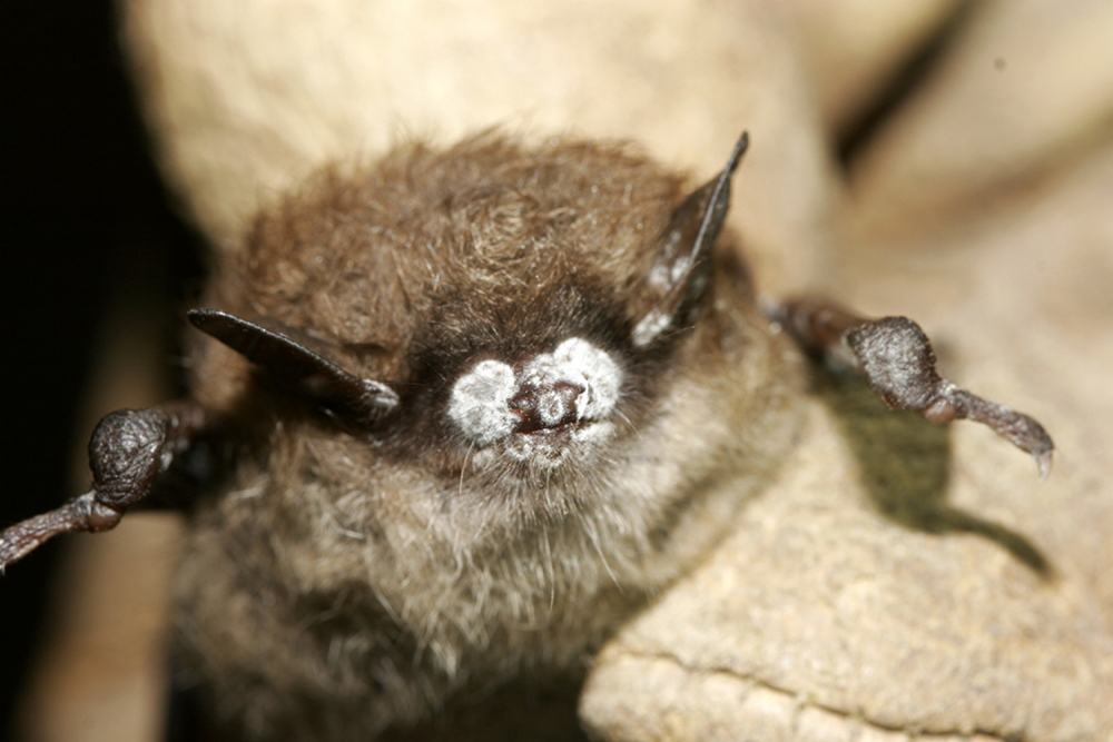 rcngrants.org   Bat infested with white nose syndrome.
