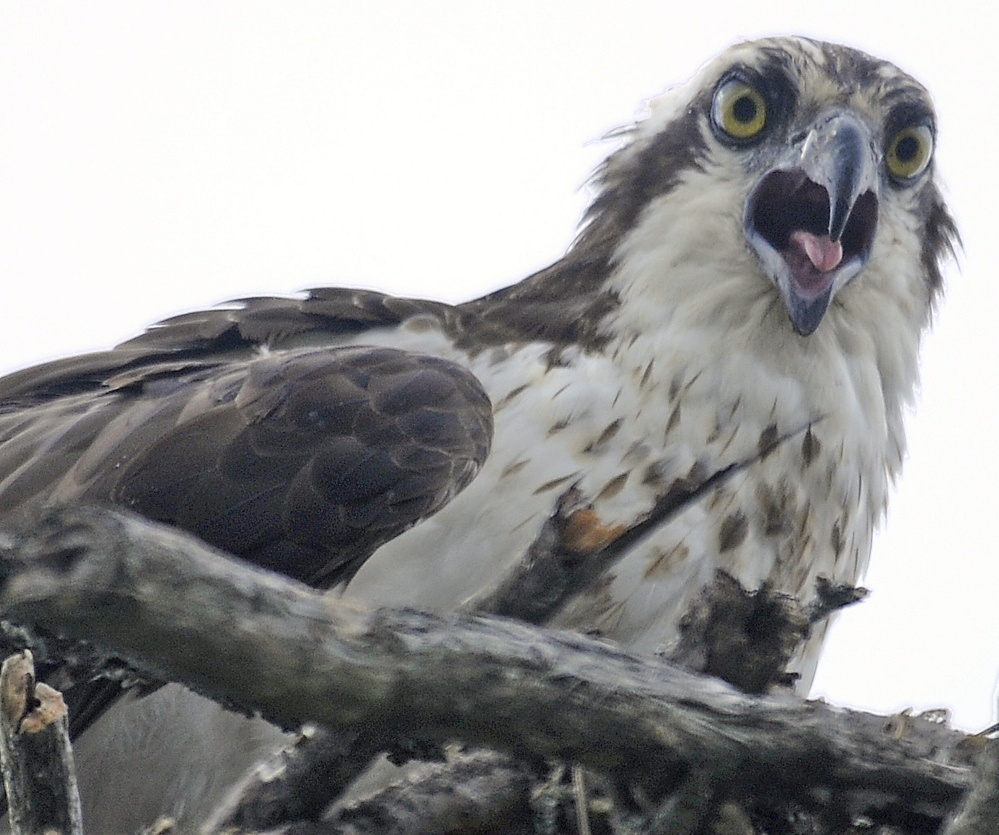 An osprey chick calls for food Tuesday in a nest along Cobbossee Stream in Gardiner, where a walking trail through the community is proposed. The city of Gardiner is hosting four public meetings starting Thursday on the future of the corridor and on a proposed trail along the stream designed by the Maine Department of Transportation.