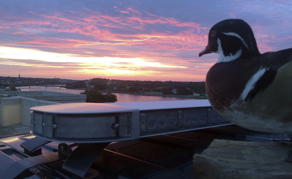 """The stuffed """"Duck of Justice"""" greets the sunrise from atop a Bangor police cruiser. The department's Facebook page has received fans from as far away as Brazil and Iran since the duck began appearing in photos."""