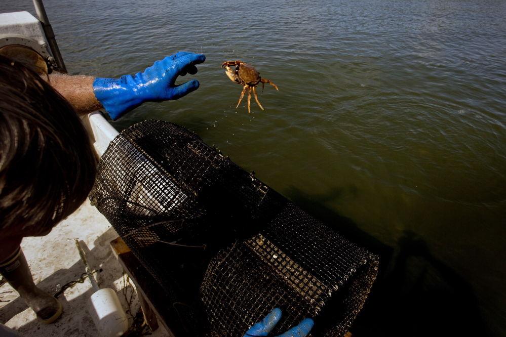 Chad Coffin, 42, of Freeport, a local clammer, throws back a common crab in his pursuit to catch and document the invasive European Green Crab along the Harraseeket River in Freeport Thursday.