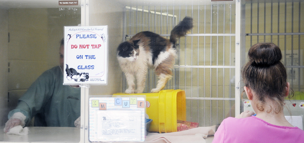 Workers at the Kennebec Valley Humane Society help cats at the shelter in Augusta. Currently, the humane society has more than 50 adult cats and over 75 kittens to care for in the shelter and through volunteers in foster homes.