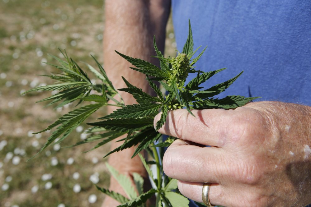 Jim Denny inspects the growth of a hemp plant on his property in Brighton, Colo. Denny's hemp plot ran afoul of his homeowners' association, which ruled it unacceptable.
