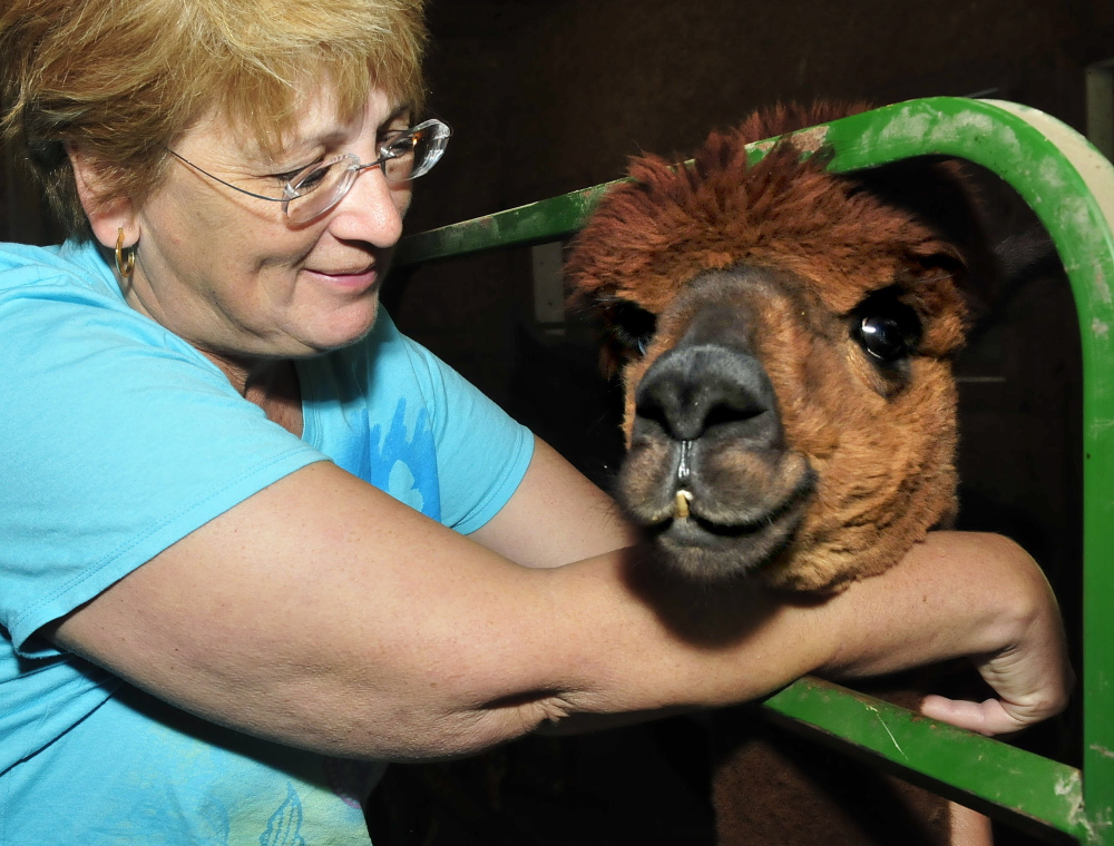 Brenda Pinkham gently pets one of the alpacas at Misty Acres Alpaca Farm in Sidney during a visit on Open Farm Day Sunday, July 27, 2014.