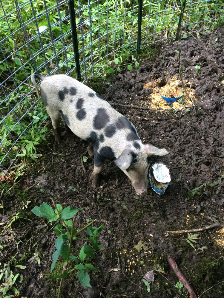 A domestic pig that escaped from its pen on an Oakland farm has been captured after several incidents in which it harassed people on a walking trail