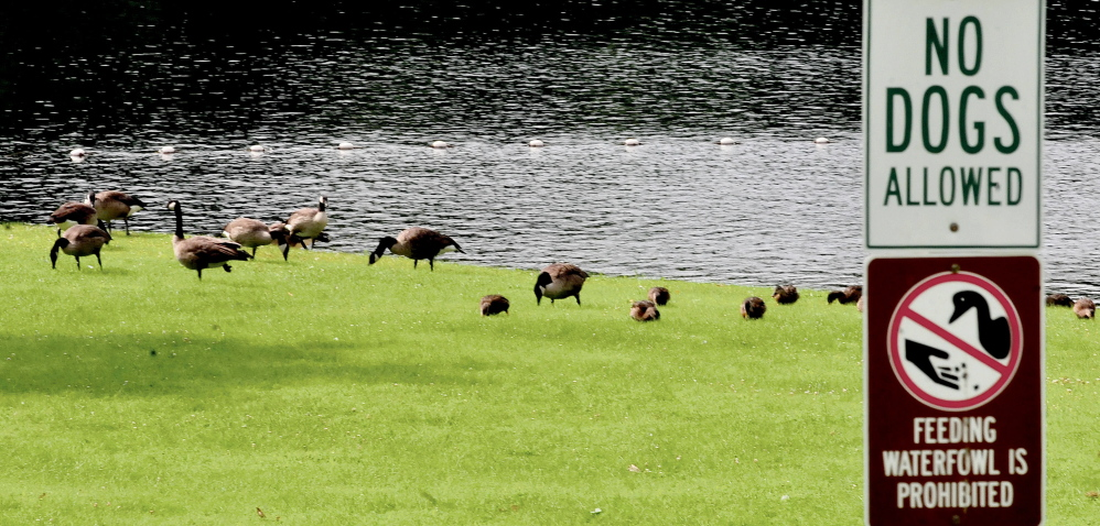 Another flock of Canada geese is frequenting the swim area at the boat launch on Messalonskee Lake in Oakland on Wednesday.