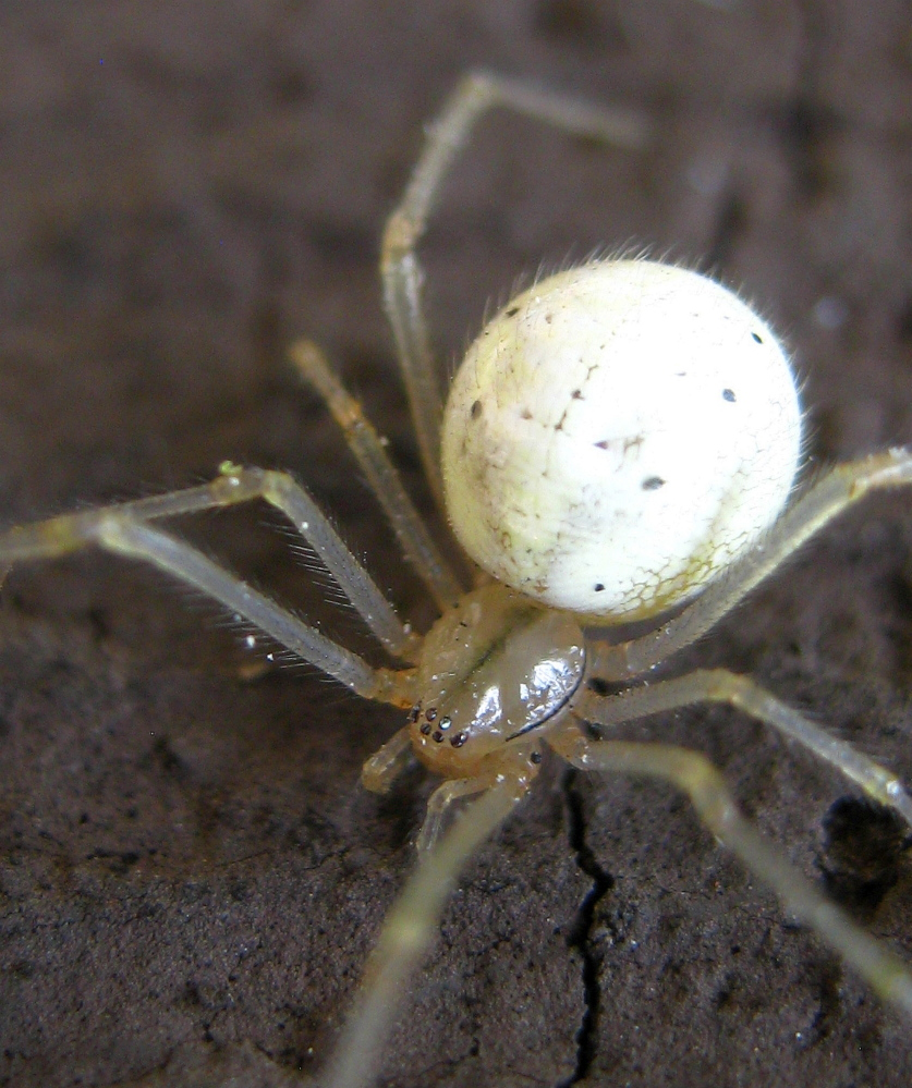 The author, after poring through pictures in books and online, was 90 percent sure this spider rappelling off the house in Troy was an orb weaver, aka Araneus cingulatis (family Araneidae). Wrong. It turned out be a cobweb weaver, Enoplognatha ovata (family Theridiidae), aka a comb-footed spider.