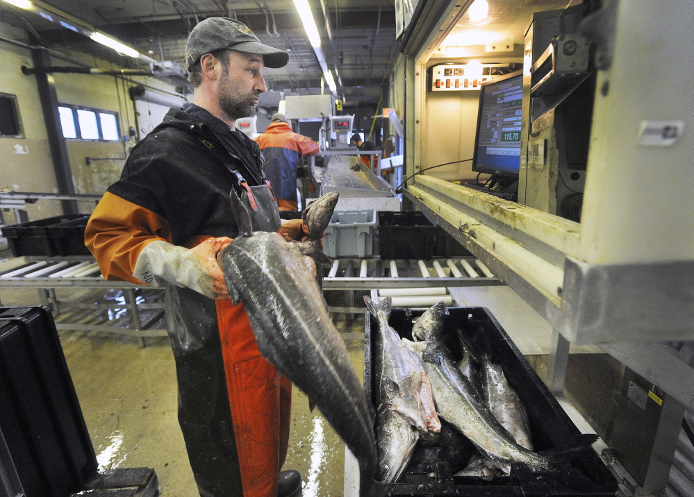 2014 Press Herald File Photo/ John Ewing Cod is loaded into totes at the Portland Fish Exchange on Commercial Street in Portland in March.
