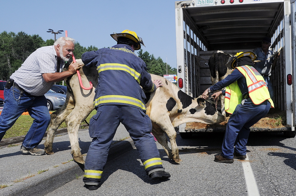 Peter Dube, left, and Farmingdale firefighters Doug Ebert, left, and Leon Crockett corral a cow Tuesday into a trailer on Maine Avenue in Farmingdale.  The critters were transferred to a cattle hauler that Dube loaned Unity farmer Jose Avila after he lost control of the trailer he was using to pull the animals.